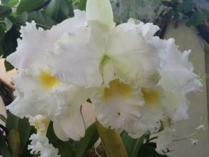 Orchids - white