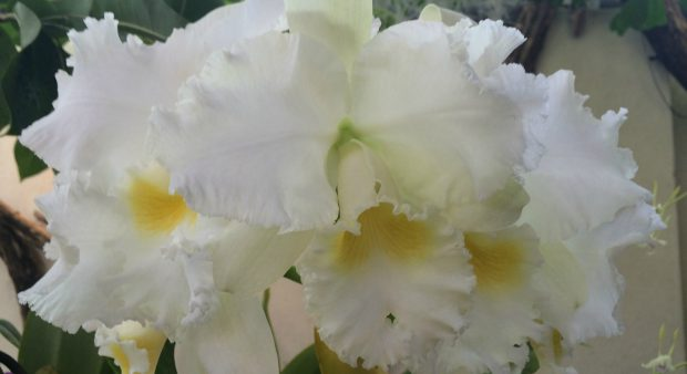 Orchids - white-medium-regular-big